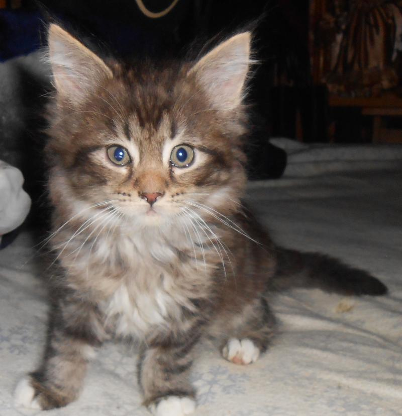 Rocky Mountain Maine Coons - Home